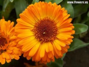 calendula_orange